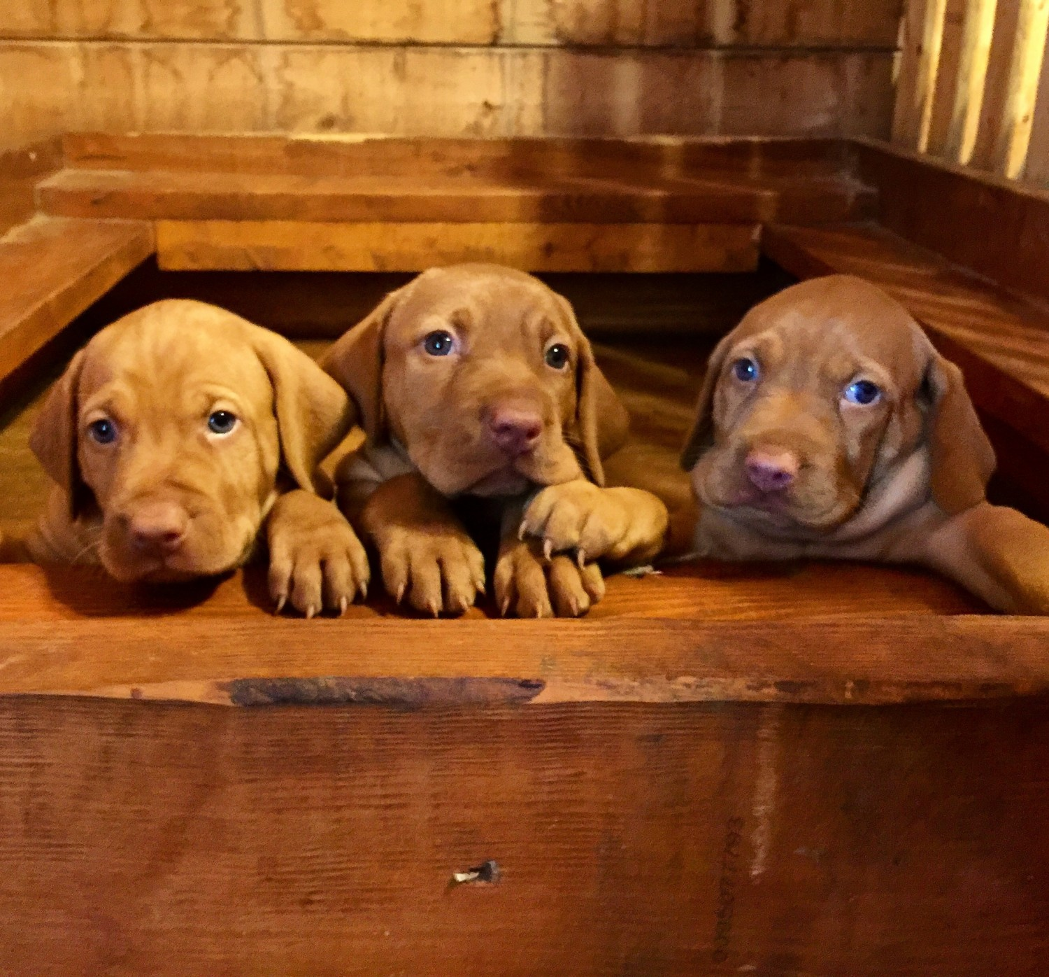 Vizsla Puppies for Sale In Montana USA