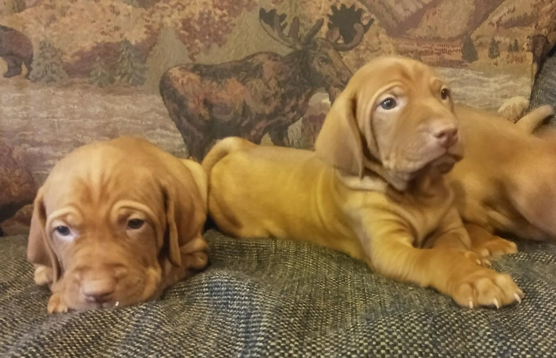 Vizsla Puppies for sale Maine USA