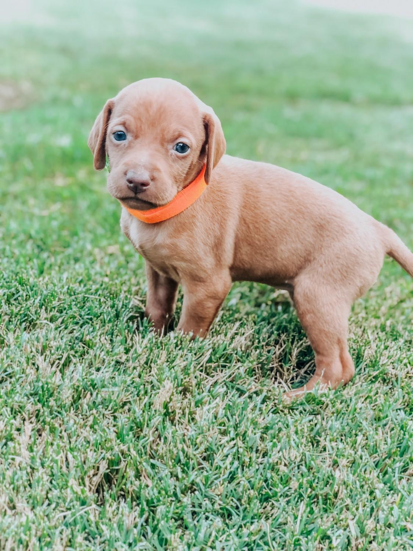 Vizsla Puppies - Petland Iowa City