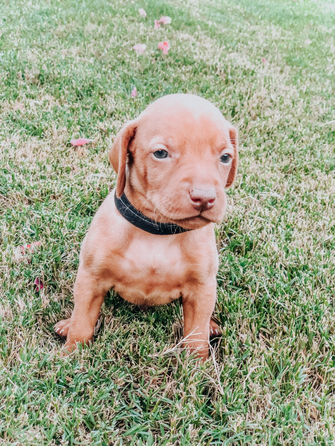 View Ad: Vizsla Puppy for Sale near New Jersey USA