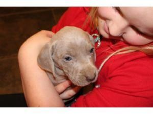 Weimaraner Puppies For Sale Raleigh Nc 87496 Petzlover