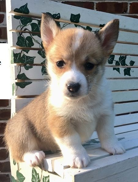 Welsh Corgi Puppies For Sale Lubbock Tx 202449