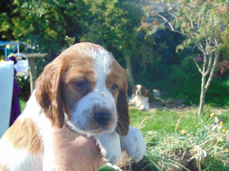 Welsh Springer Spaniel Puppies For Sale | Altamonte ...