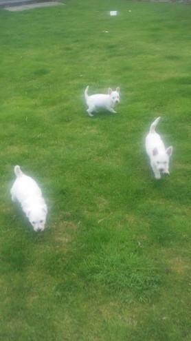 West Highland White Terrier Puppies For Sale Pueblo Co 95785
