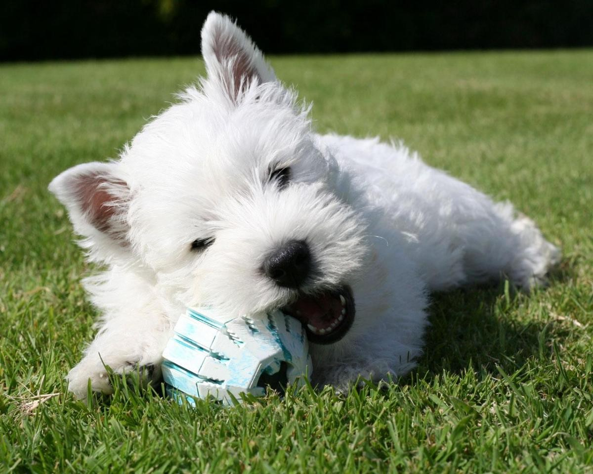 West Highland White Terrier Puppies For Sale Springfield Ma 105990