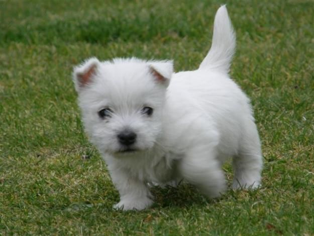West Highland White Terrier Puppies For Sale | Reno, NV #153981