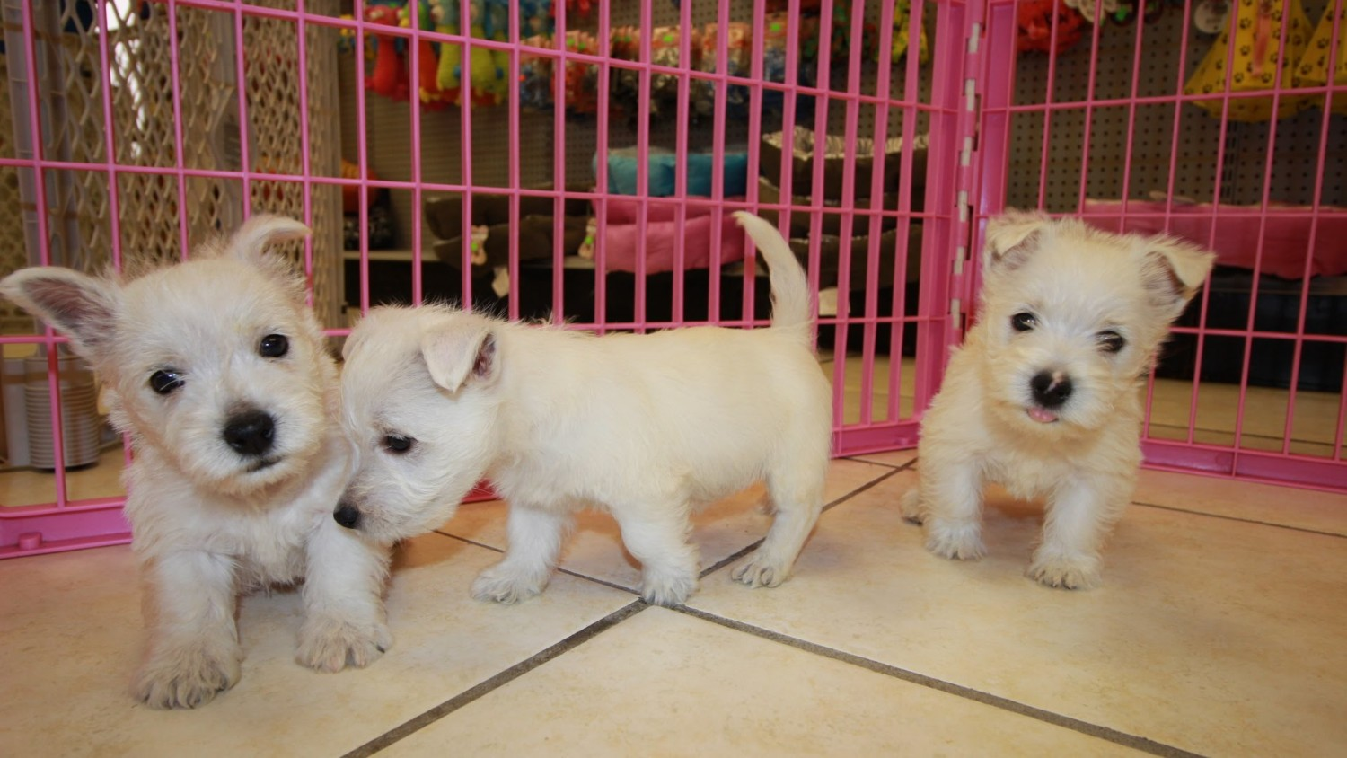 West highland white terrier puppies for sale columbus for Dog kennels for sale in ohio