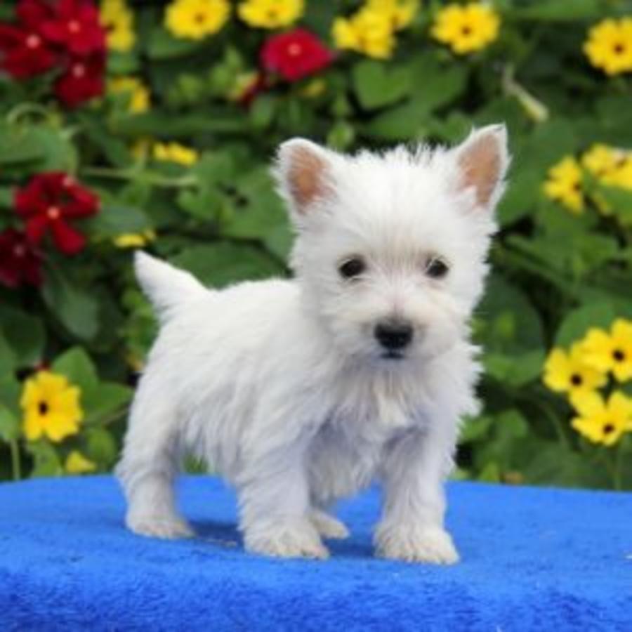 West Highland White Terrier Puppies For Sale Westside Fl 207933
