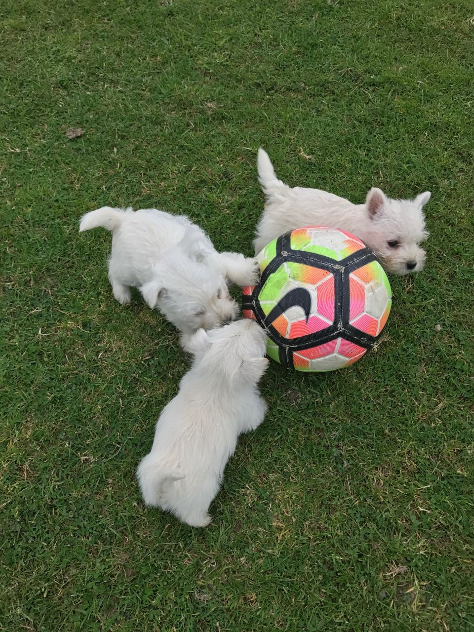 West Highland White Terrier Puppies For Sale | St. Louis ...