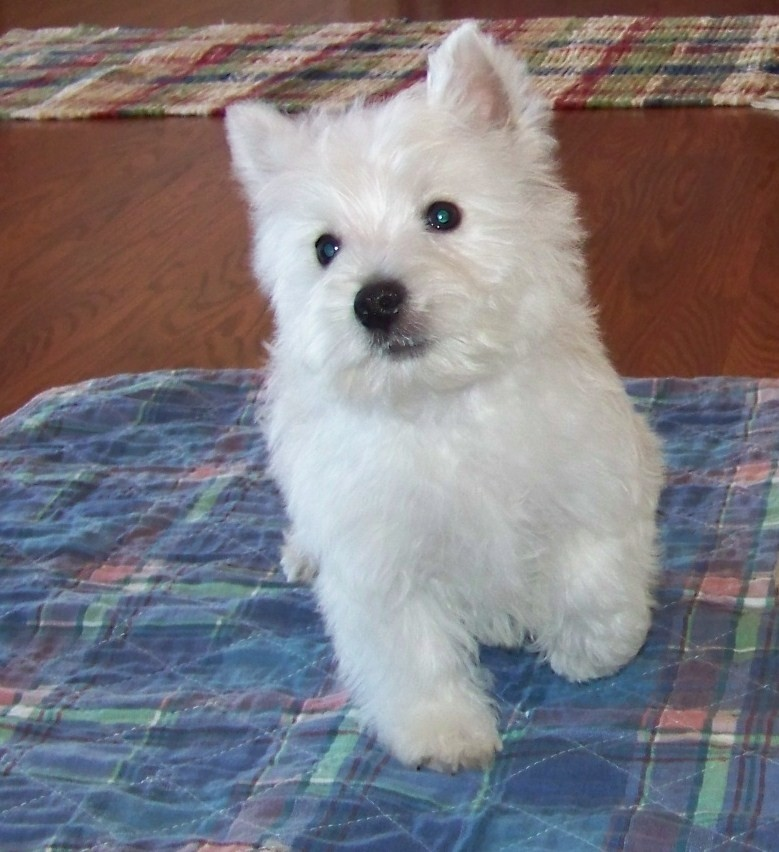 west highland terrier for sale near me west highland white terrier puppies for sale portland 478