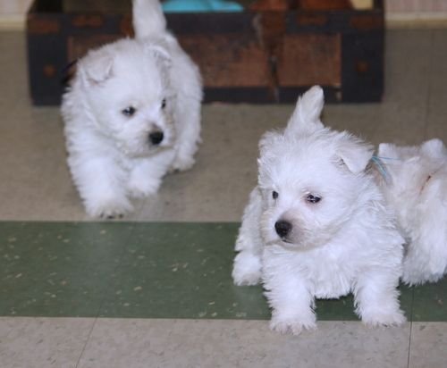 West Highland White Terrier Puppies For Sale | Arkansas ...