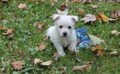 West Highland White Terrier Puppies For Sale | Eudora, AR ...