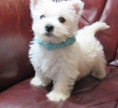 West Highland White Terrier Puppies For Sale Houston Tx