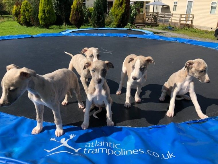 Buy Whippet Puppies For Sale Near Me In Florida USA