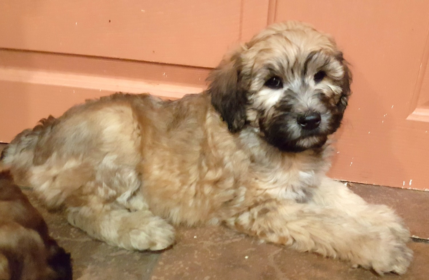 Whoodles Puppies For Sale Wausau Wi 254482 Petzlover