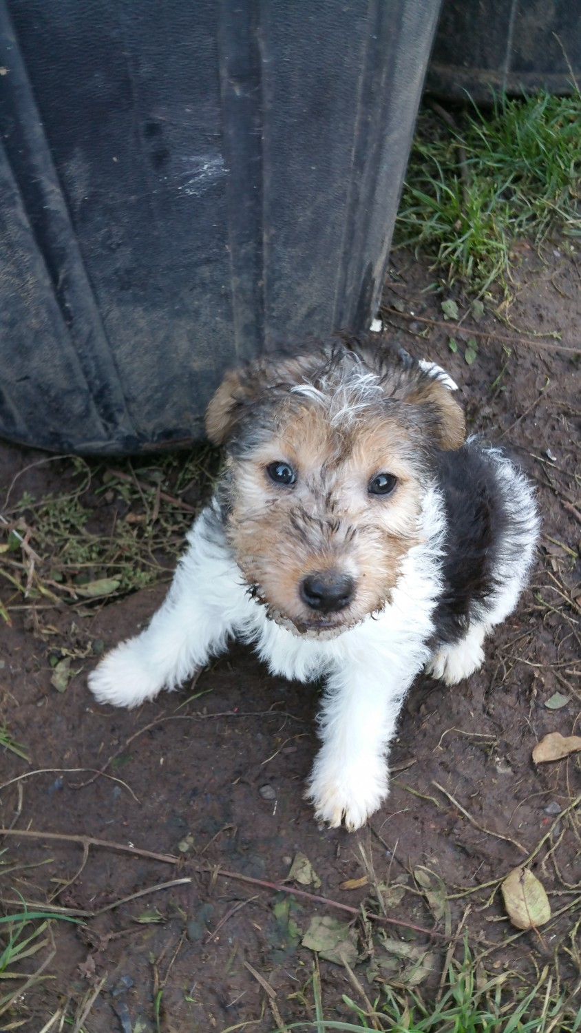 Wire Haired Fox Terrier Puppies For Sale Yoncalla Or 250656