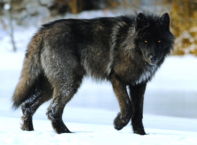 Wolf dog puppies