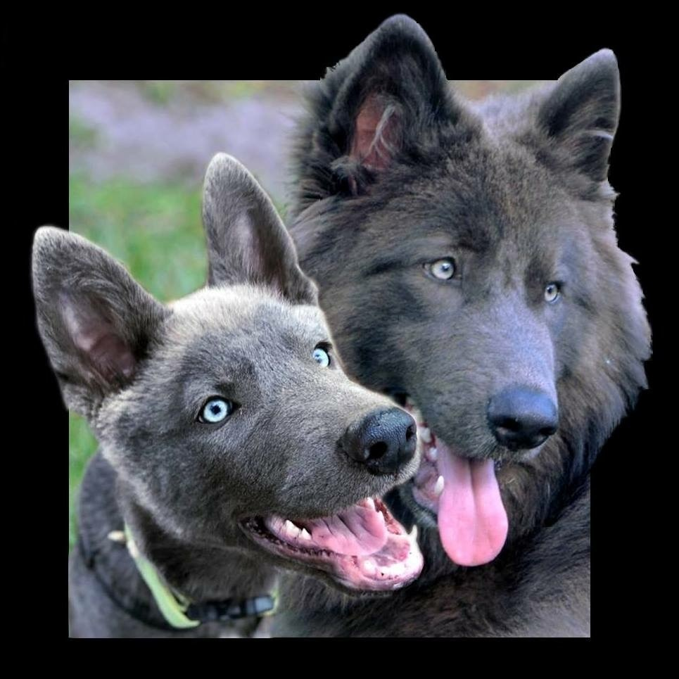 Wolfdog Puppies For Sale | Saint Cloud, FL #285958