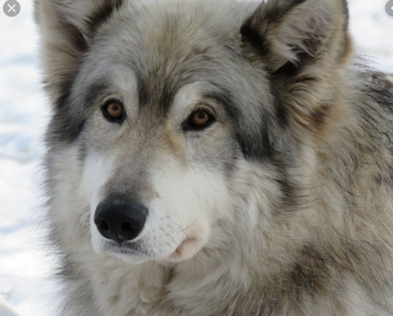 Wolfdog Vs St Bernard Breed