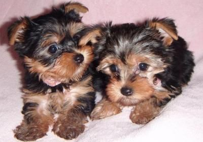 yorkie puppies for sale in richmond va yorkiepoo puppies for sale richmond va 75469 petzlover 2255