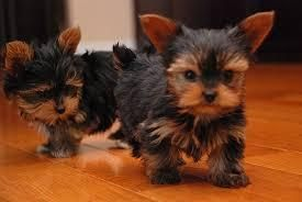 Yorkiepoo Puppies For Sale Columbus Oh 124600