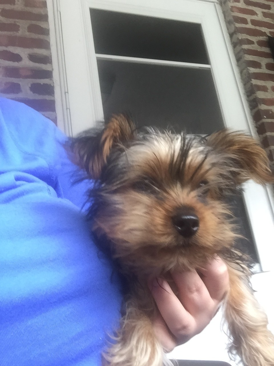 YorkiePoo Puppies For Sale | Pittsburgh, PA #207585