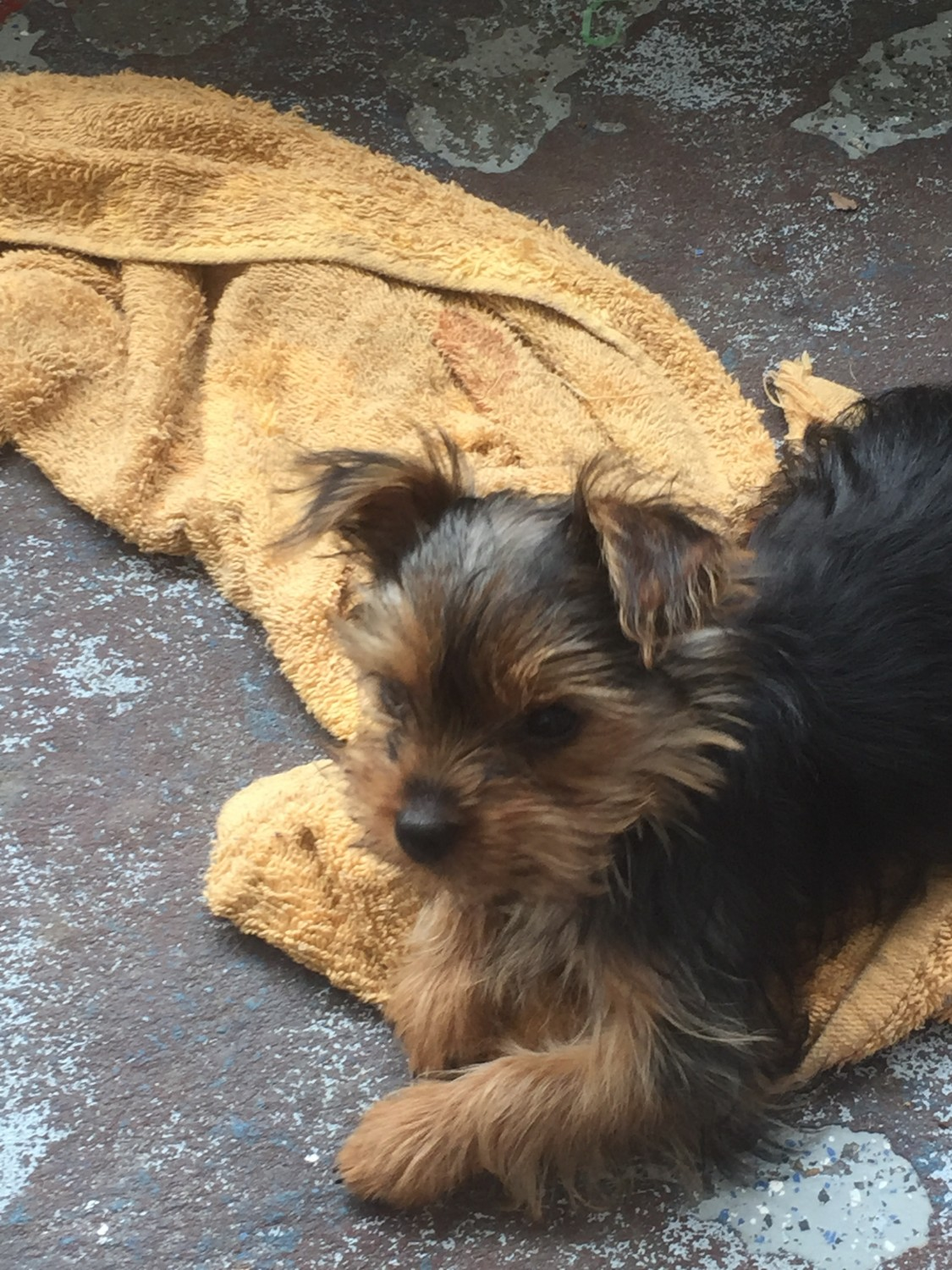 Yorkiepoo Puppies For Sale Pittsburgh Pa 207680