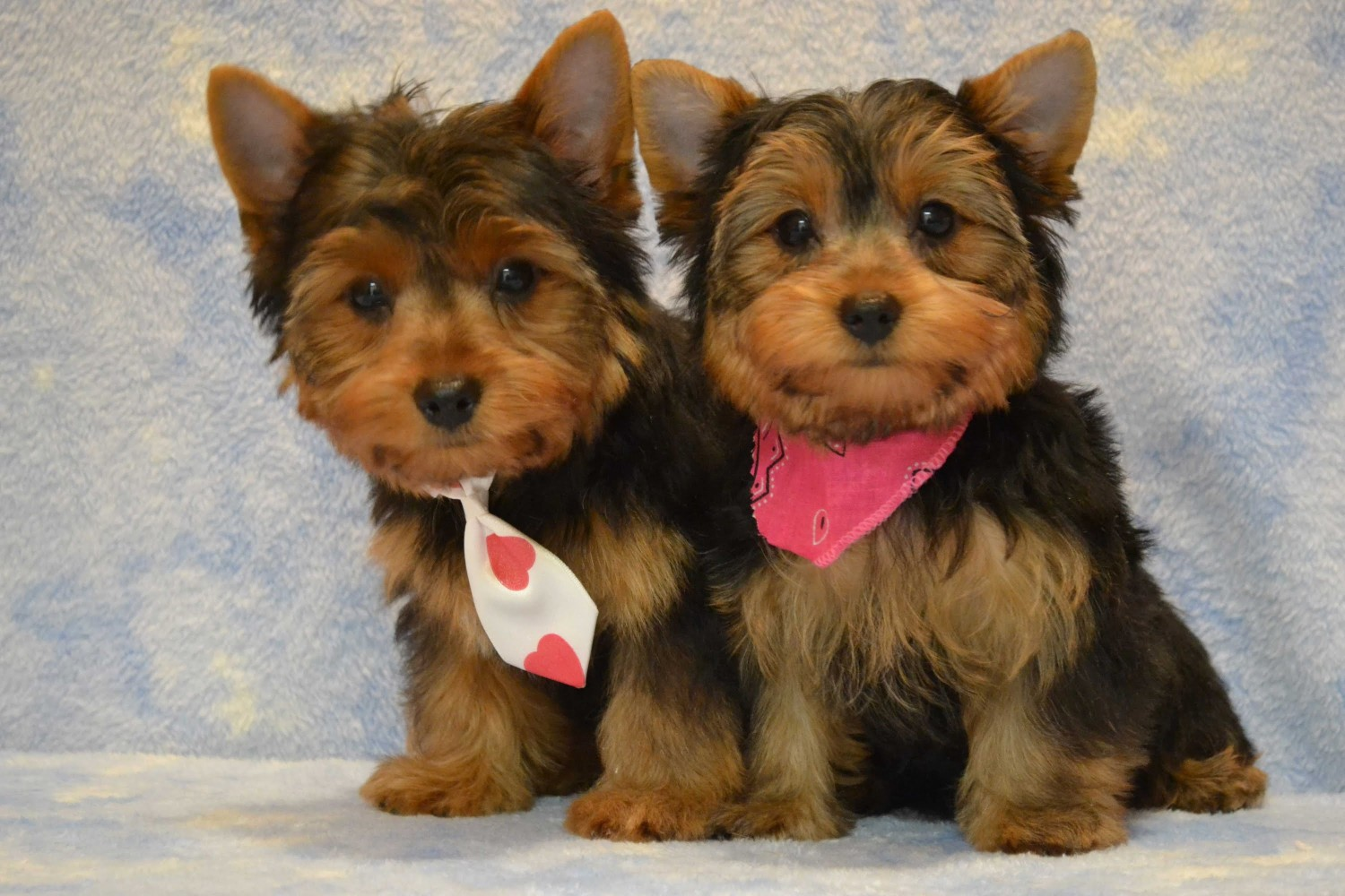 yorkie puppies for sale indianapolis yorkiepoo puppies for sale indianapolis in 234543 5189