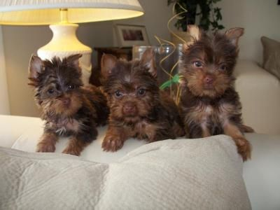 yorkie puppies for sale indianapolis yorkiepoo puppies for sale indianapolis boulevard north 3983