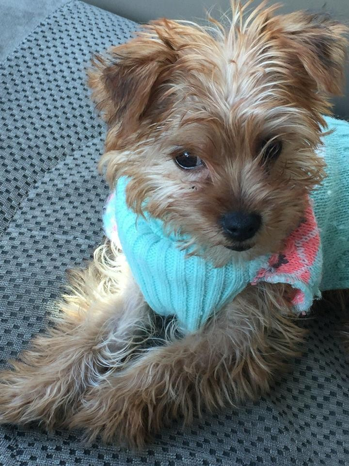 YorkiePoo Puppies For Sale | Houghton Lake, MI #274657