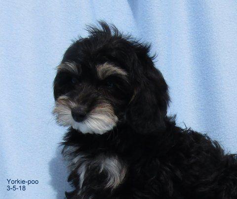 yorkiepoo puppies for sale pahrump nv 276259 petzlover. Black Bedroom Furniture Sets. Home Design Ideas