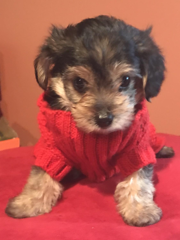 YorkiePoo Puppies For Sale | Merrillville, IN #290819