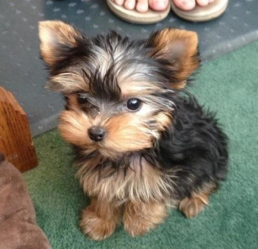 Yorkshire Terrier Puppies For Sale Banner Elk Nc 70852