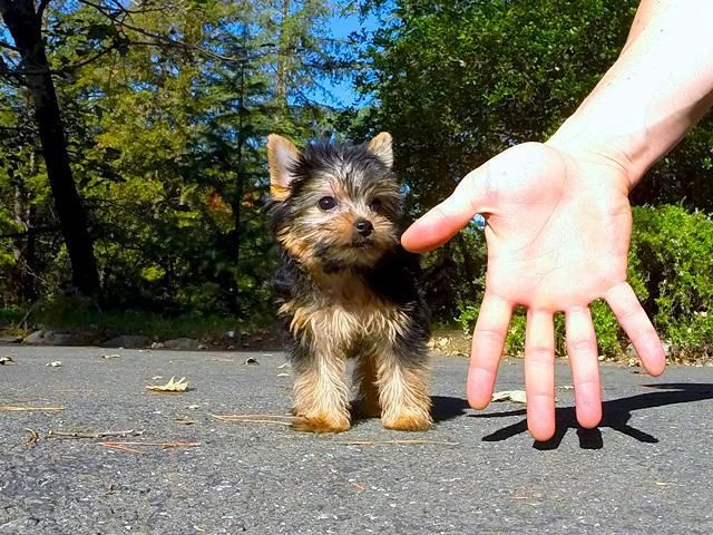Yorkshire Terrier Puppies For Sale South Bend In 75274