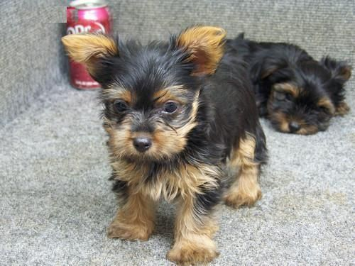 Yorkshire Terrier Puppies For Sale Philadelphia Pa 80105