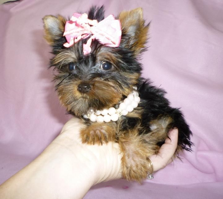 Yorkshire Terrier Puppies For Sale | Idaho Falls, ID #84090