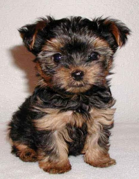 Yorkshire Terrier Puppies For Sale | Rochester, MN #86660