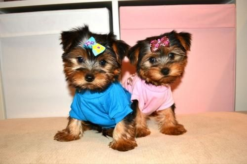 Yorkshire Terrier Puppies For Sale Barboursville Wv 90746