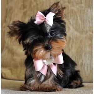 Yorkshire Terrier Puppies For Sale | Hampton, VA #91276