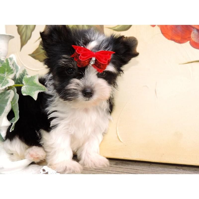 Yorkshire Terrier Puppies For Sale Corpus Christi Tx 103465