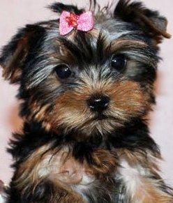 Yorkshire Terrier Puppies For Sale Abilene Tx 110741