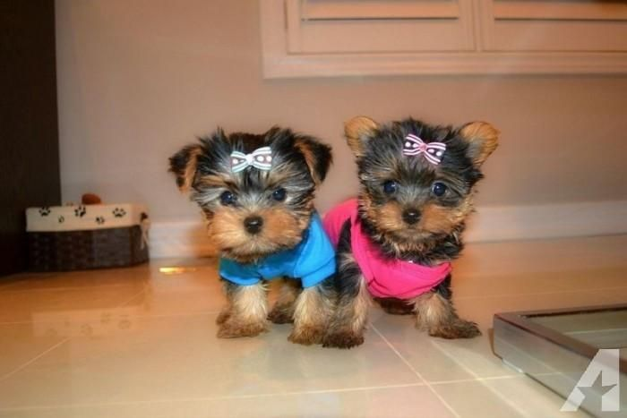 Yorkshire Terrier Puppies For Sale Rochester Ny 114949