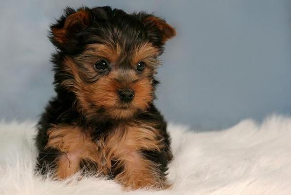 Yorkshire Terrier Puppies For Sale Richmond Va 122951
