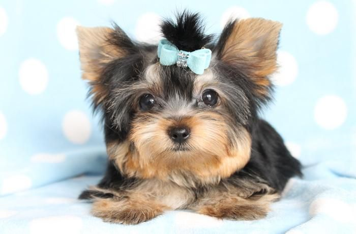 Yorkshire Terrier Puppies For Sale | Syracuse, NY #128573