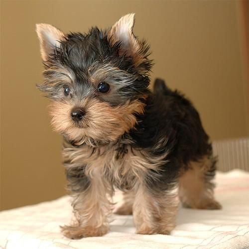 Yorkshire Terrier Puppies For Sale | Louisville, KY #128846