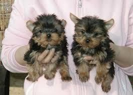 Yorkshire Terrier Puppies For Sale Abilene Tx 131148