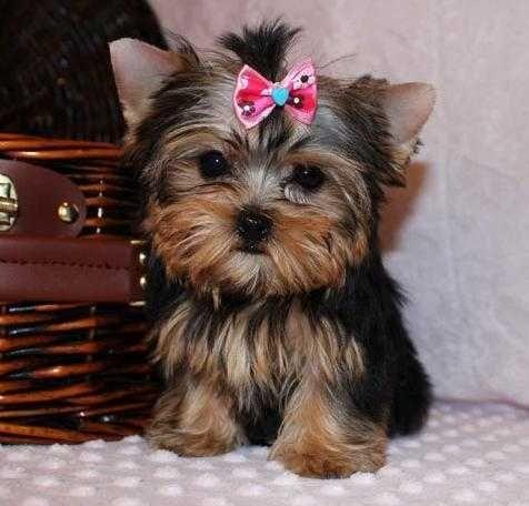 Yorkshire Terrier Puppies For Sale | Lexington, KY #140472