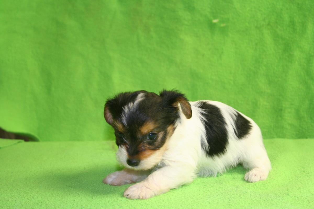 Yorkshire Terrier Puppies For Sale Winston Salem Nc 152258