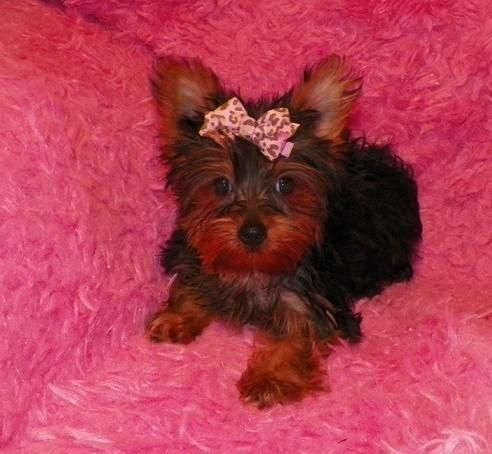 Yorkshire Terrier Puppies For Sale Bakersfield Ca 153141