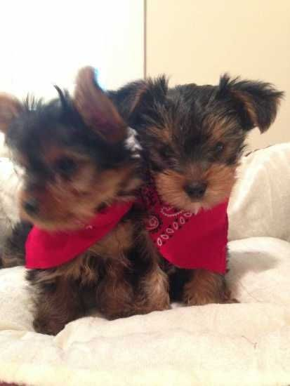 Yorkshire Terrier Puppies For Sale Philadelphia Pa 167103